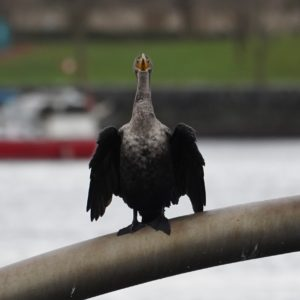 Cormorant head on