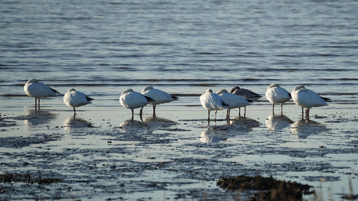 Napping snow geese