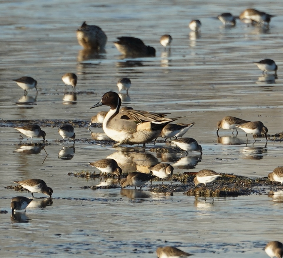 pintails and dunlins
