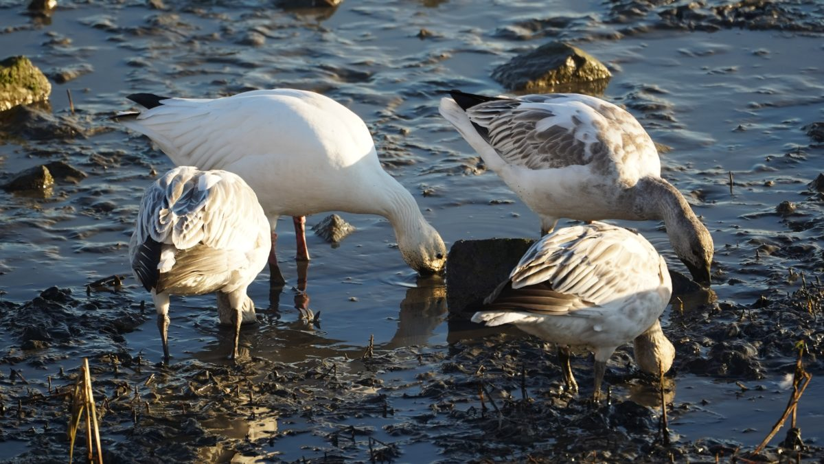 digging snow geese