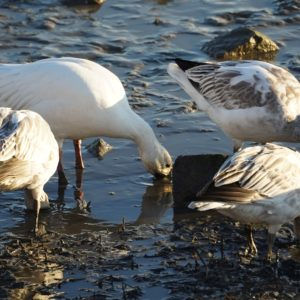 digging snow geese