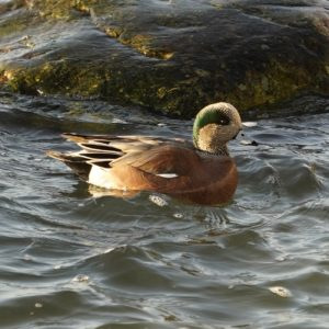 Wigeon in sunlight
