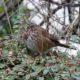 A nice fluffy song sparrow
