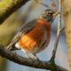 Robin in dramatic light