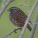 Song sparrow in green