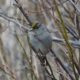 Golden-crowned sparrow in a bush