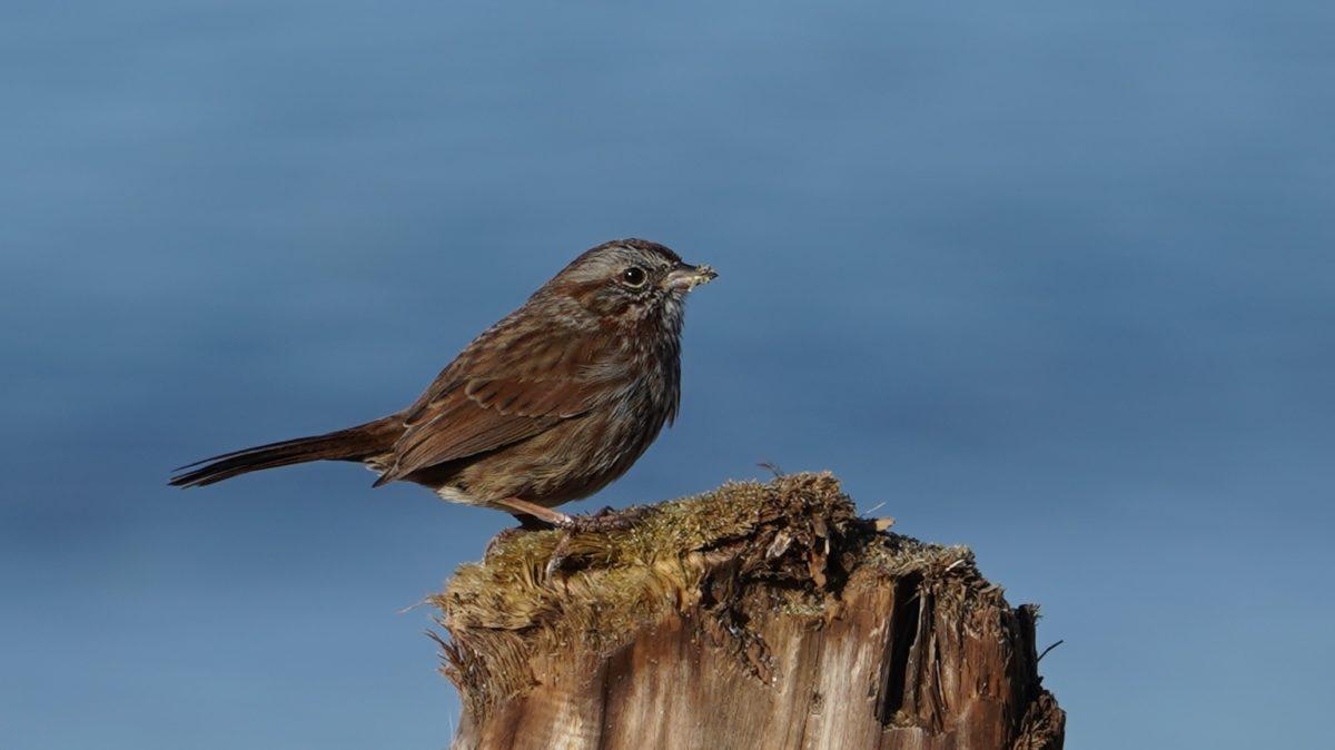 Song sparrow on a stump