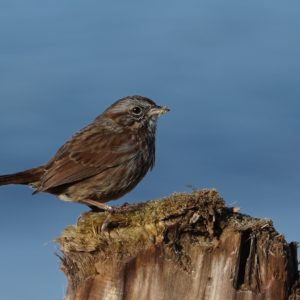 Song sparrow on a stump