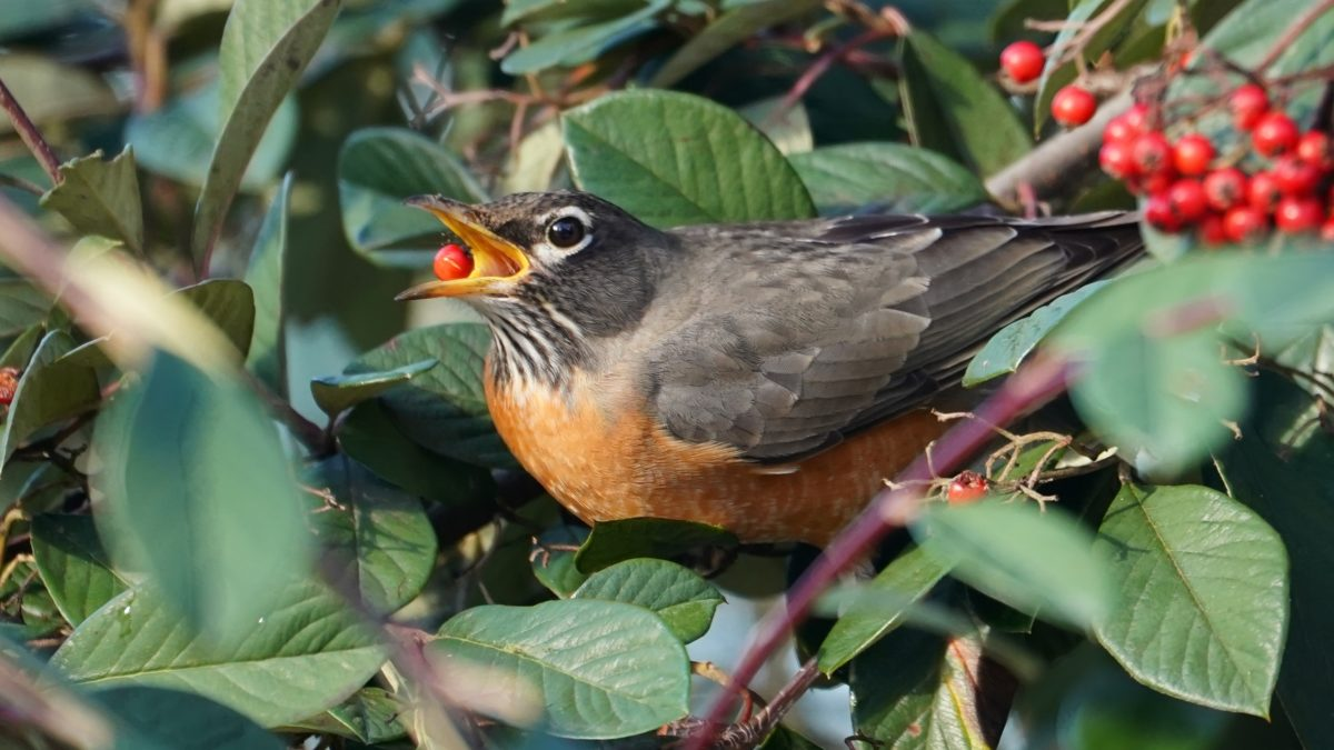 Robin eating berry