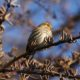 Pine siskin up in a tree