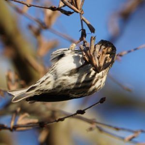 Pine siskin belly
