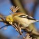 Goldfinch picking at seed