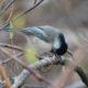 Chickadee working a twig