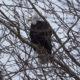 Ruffled bald eagle
