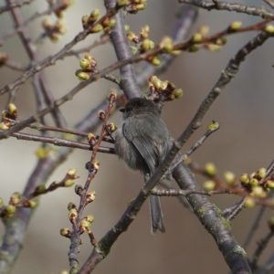 Bushtit from behind