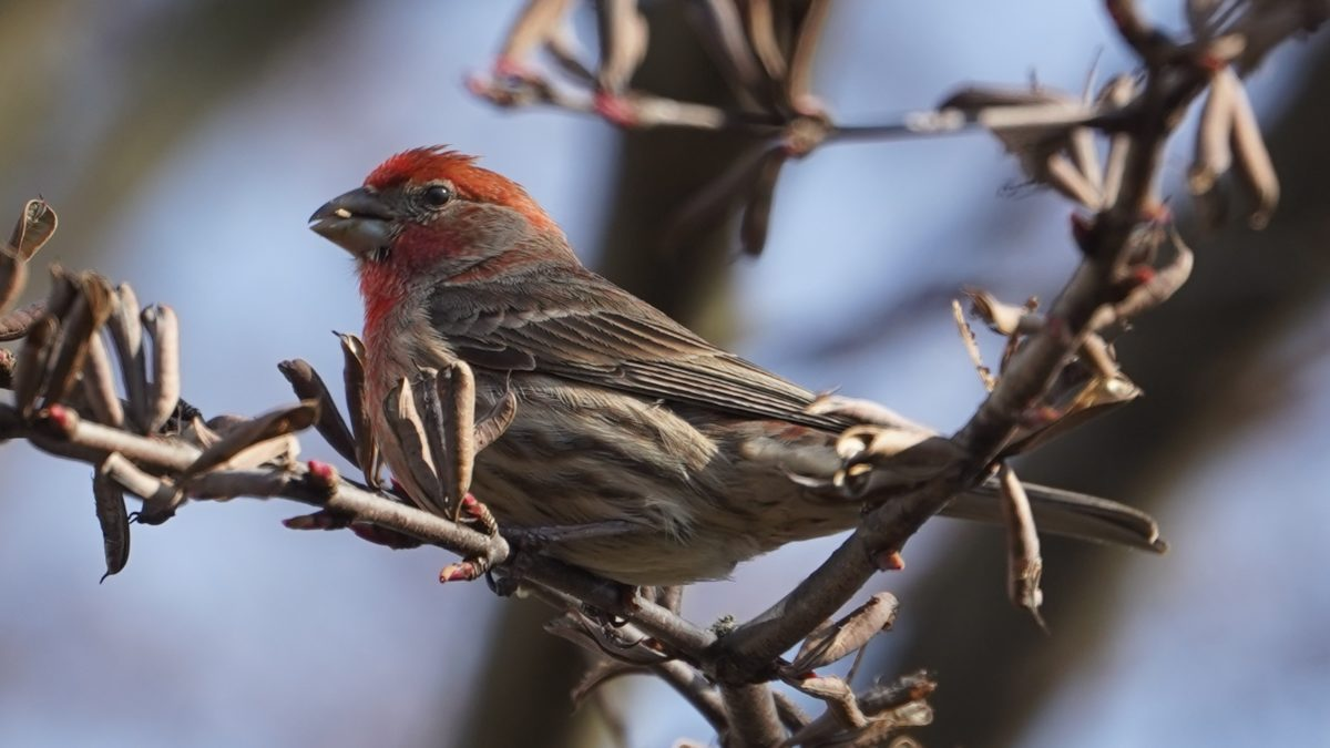 House finch, male, seed in mouth