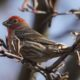 Male house finch, seed in mouth