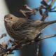 Female house finch, seed in mouth