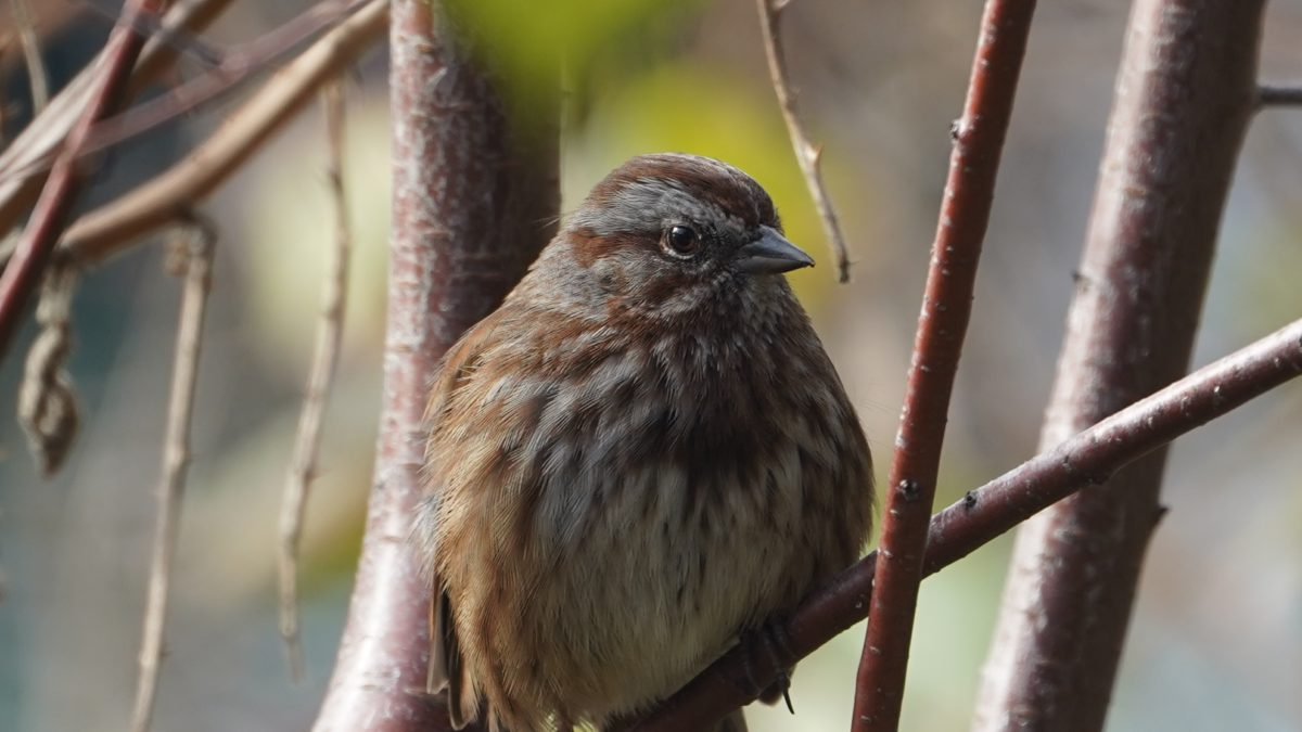 Song sparrow, close up