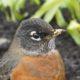 Robin with muddy beak