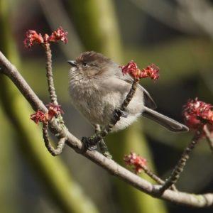 Bushtit in blossoms