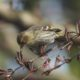 Pine siskin and seed
