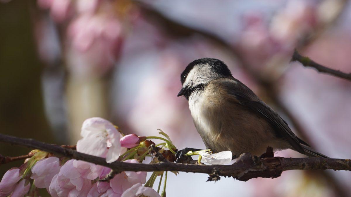 chickadee and pink blossoms