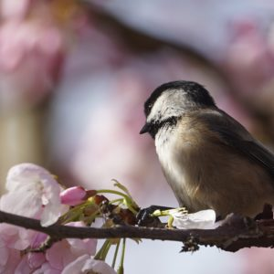 chickadee and pink blossoms