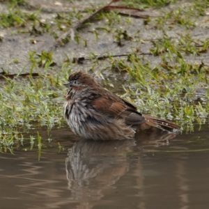 song sparrow taking a bath