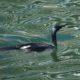 Wet, shiny cormorant