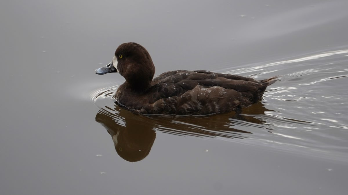 greater scaup, female
