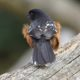 Fluffed spotted towhee