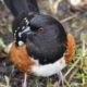 Spotted towhee glare