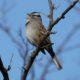 Singing white-crown, profile
