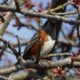 Spotted towhee in a hedge