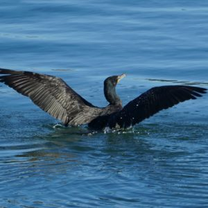 Cormorant spreading its wings