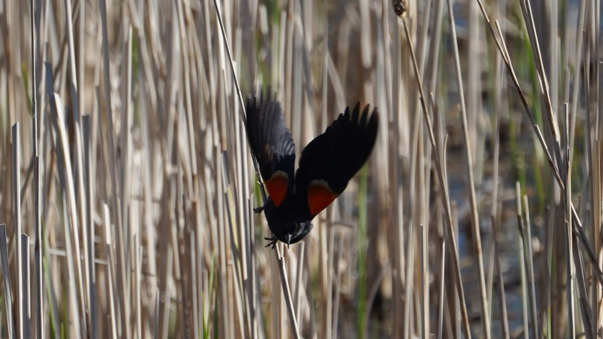 Red-winged blackbird taking off