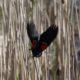 Red-winged blackbird action shot