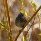 Song sparrow, golden hour