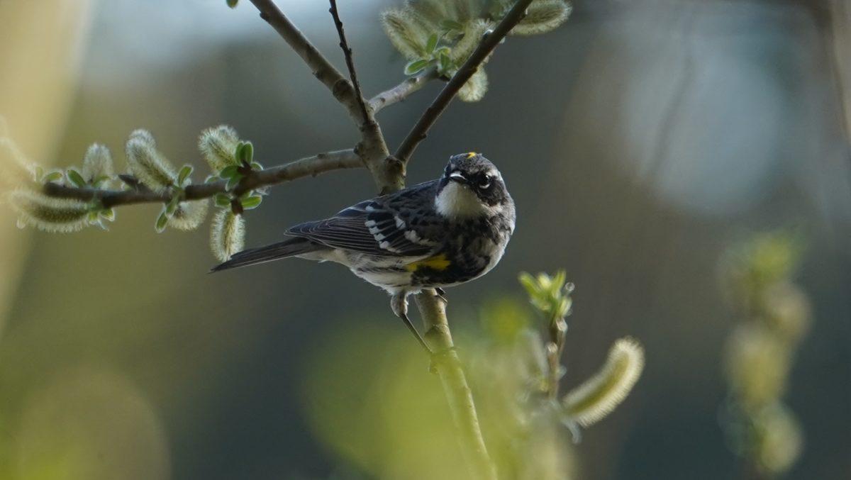 Yellow-rumped warbler, myrtle