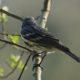 Yellow-rumped warbler, side