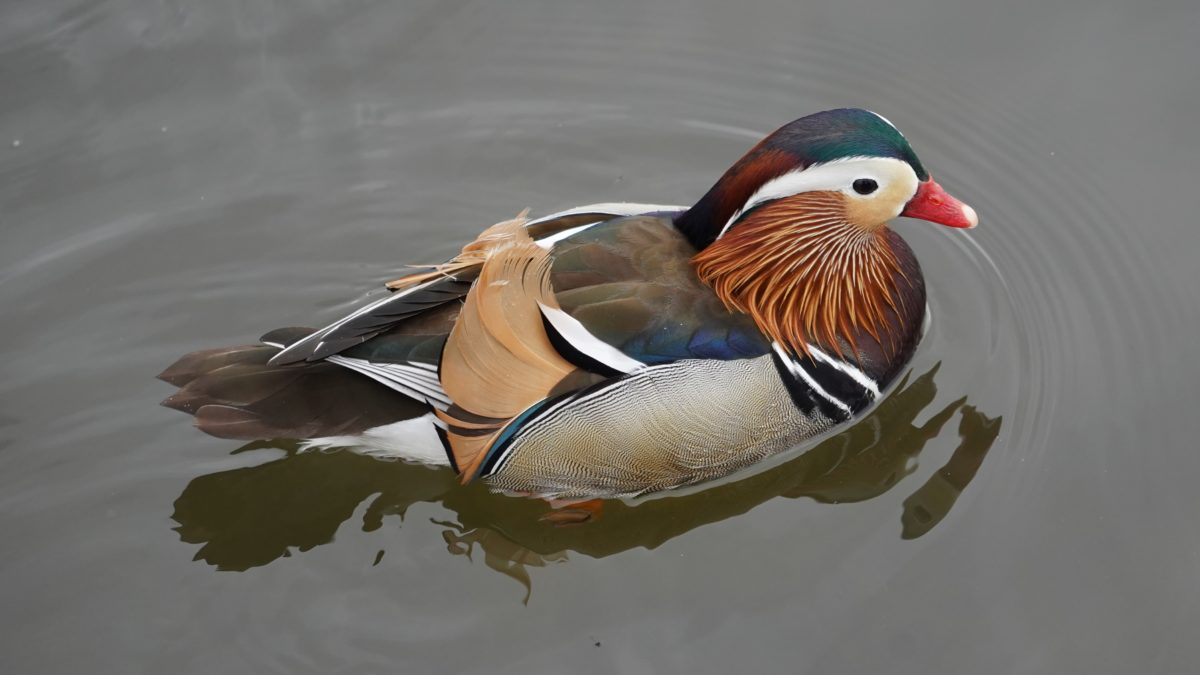 Trevor the Mandarin duck