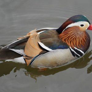 Trevor the Mandarin duck