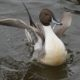 Northern pintail stretching