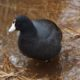 Coot in the reeds