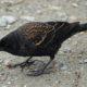 Immature male blackbird