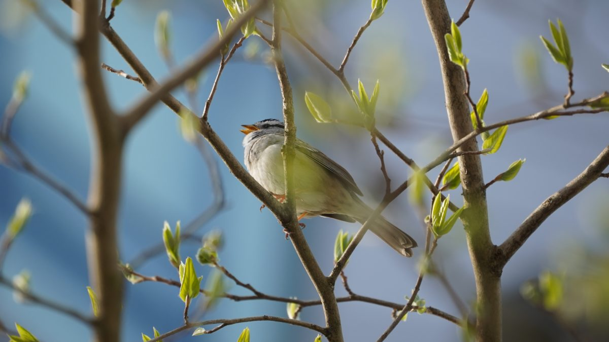 white-crowned sparrow in the green