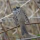 Golden-crowned sparrow, moulting