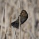 Blackbird on a reed