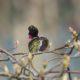 Preening hummingbird